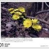 山の自然学カレンダー2020 1月・福寿草の戦略