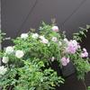 小さな庭のバラ Ⅶ