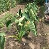 家庭菜園(7月30日) 工夫して植えたサトイモ