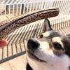 【犬のおもちゃ】鹿角ってどうなの?安全性は?【鹿の角】