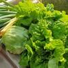家庭菜園初心者、初めてのレタス収穫。