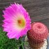 太陽の花【エキノケレウス】