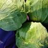 無農薬キャベツ収穫しました!@新潟EMBC複合発酵バイオで栽培する健康農産物