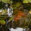 エビは夜行性だった 昨夜、池に侵入者あり