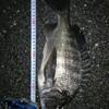 3月30日 夜チヌを釣りに