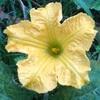 """畑からこんにちは! 0916    """" 大きな黄色い花…🌼  """""""