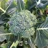 【家庭菜園】ブロッコリーは花