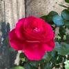 レッドレオナルドダヴィンチの花姿