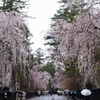 角館の桜と2軒の秘湯の宿でにごり湯を楽しむ旅
