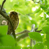 🦜野鳥の回【183】ズクとズク🆕コノハズク(木葉木菟)とオオコノハズク(大木葉木菟)