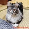 この猫凶暴につき:メインクーン猫シルルのもふもふ