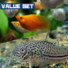 (熱帯魚)【バリューセット】ミックスバルーンモーリー(約3cm)(3匹) + コリドラス ジュリー(約3cm)(1匹)【水槽/熱帯魚/観賞魚/飼育】【生体】【通販/販売】【アクアリウム】
