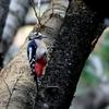 日本 文殊の森公園のアカゲラ