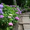 ✿先週の白山神社の紫陽花❀