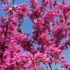 ハナズオウの花