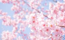 開花予想って英語でなんて言う?桜・お花見のフレーズ集