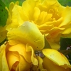 般若の独り言~黄色の蔓バラ