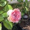 2017年春、ついにバラの季節到来!我が家も咲きました(5月8日開花)