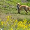 春色パレット~wild fox