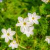 桜は散りて足元に ましろに咲いた白き花々