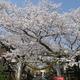 中村神社の桜