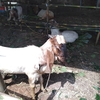 こんな状況でも山羊は犠牲祭を待っている。