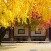 成均館大学が一番綺麗な季節