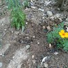 私の育てたマリーゴールドVSこぼれ種のマリーゴールド!
