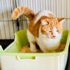 【猫学】短足マンチカンのるるちゃん御用達!おすすめトイレのご紹介