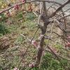 垂れ梅が咲いた