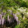 万葉植物園の藤(4月下旬~5月上旬)