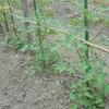 トマトの芽かき、挿し木、他