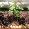 秋じゃがいも(デジマ)の1回目の土寄せと追肥
