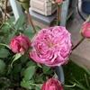 バラの開花が進んでいます