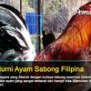 12 Jenis Galur Murni Sabung Ayam Filipina