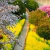 桜並木と濃淡桜、そして春の花♪
