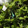アオスジアゲハ 青条揚羽 Graphium sarpedon