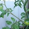 トマトの葉っぱが丸まっているのは?