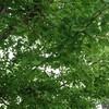 街路樹のイチョウに実がついて枝が垂れていました。秋の紅葉が今から楽しみです。
