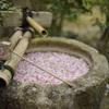 曇り空の上品蓮台寺で名残りの桜などを愛でる@2021
