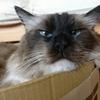 眠いのをガマンしている猫もカワイイ