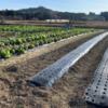 ネギと春菊の収穫