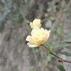 モッコウバラが咲いていた。早すぎ!!(*^_^*)。この花だけなので狂い咲き。