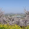 愛媛県伊予市 金松山の桜