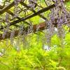 松見公園の藤~つくば市とその周辺の風景写真案内(395)