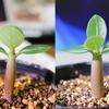 自生のアデニウム 発芽から1ヶ月半