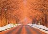 新・日本街路樹百景「メタセコイア並木」