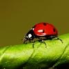 10月10日は「てんとう虫の日」~テントウムシは何でテントウムシと呼ばれるの?(*´▽`*)~