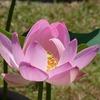 西大寺の蓮の花は 無料で見られまーす(^_^)/