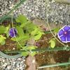 アサガオが2つも咲いたんです。